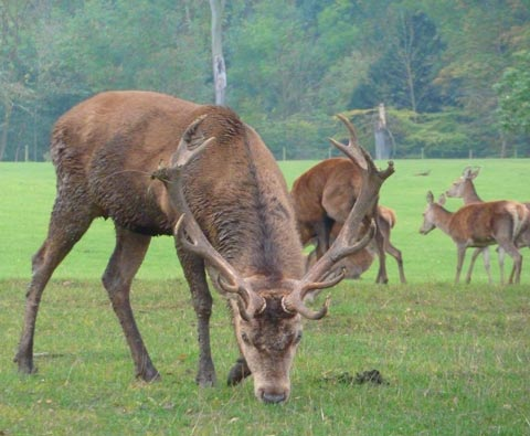 Red Deer stag during rutting